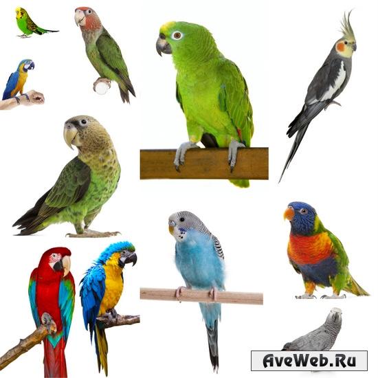 Клипарт попугаи